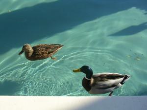 not the actual ducks, not her actual pool