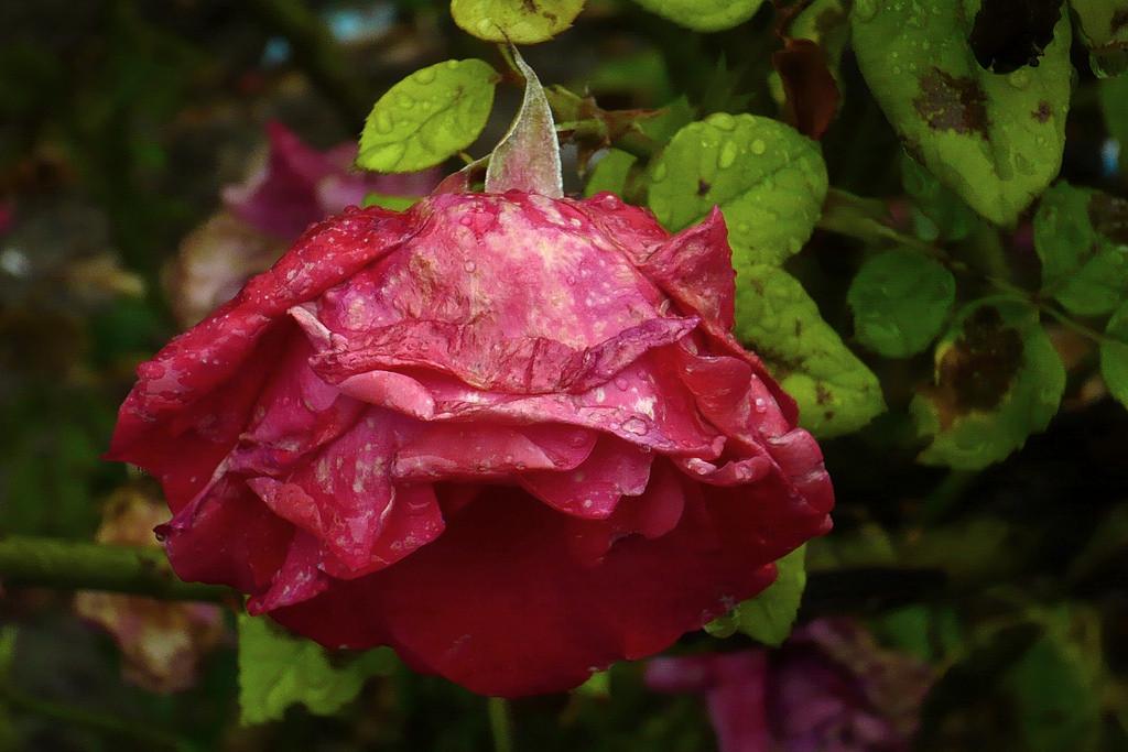 rose--impermanence