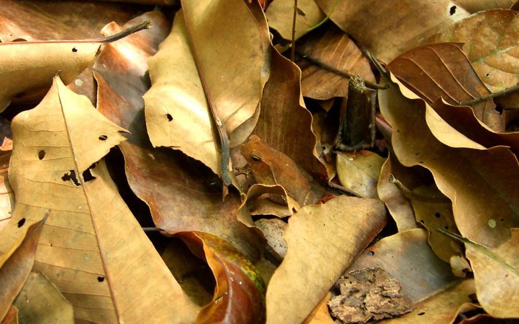 Frog_Hiding_in_Leaves_(405915248)