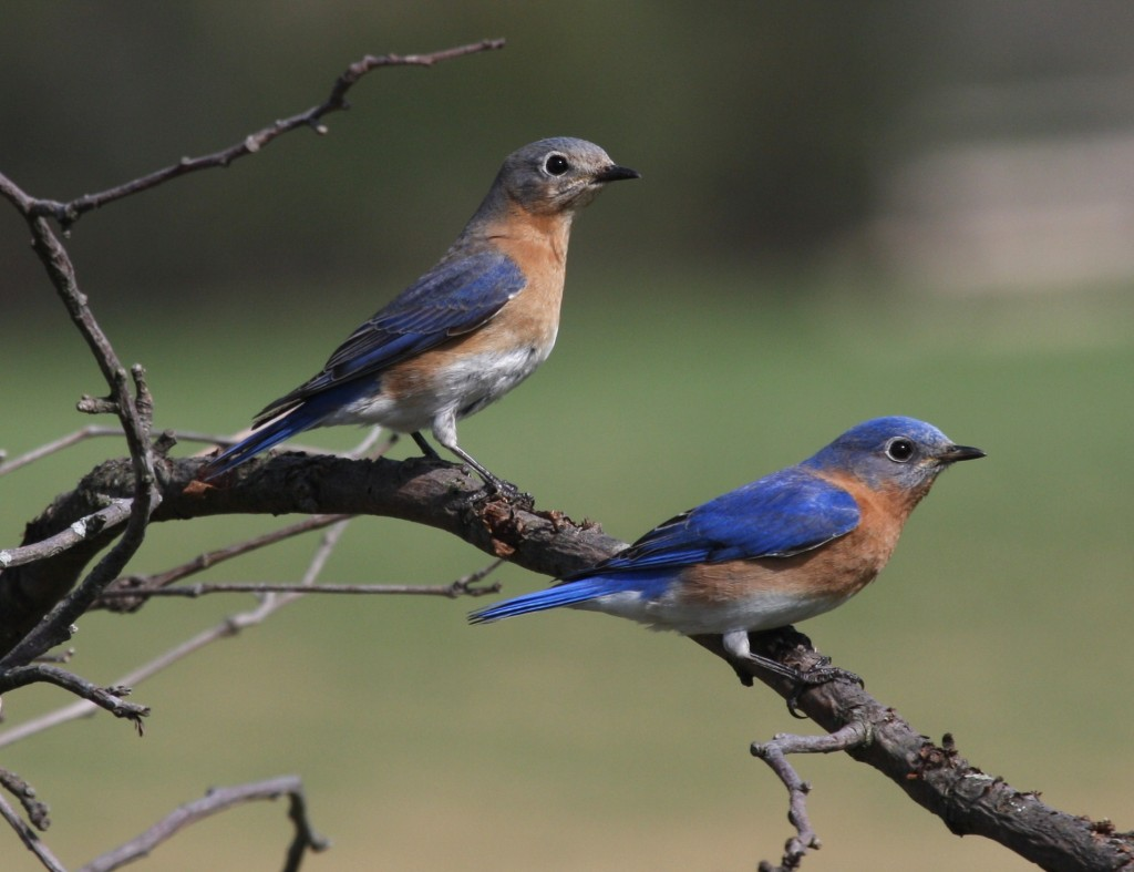 pair blue birds